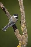 parus chickadee atricapillus покрынный чернотой Стоковое Изображение RF