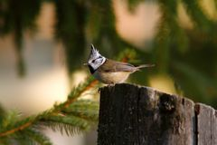Parus cristatus on stump Stock Photography
