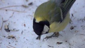 Parus do melharuco do pássaro o grande principal bica a neve e chapinhar-la nela na mola adiantada video estoque