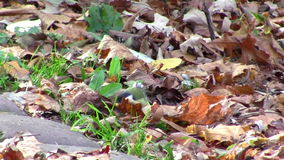 Parus forest in autumn stock video