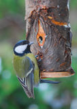 Parus major. Look The major, modeled of a nosebag manually elaborated birds Royalty Free Stock Images