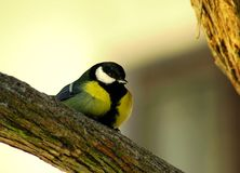 Parus major Royalty Free Stock Photo