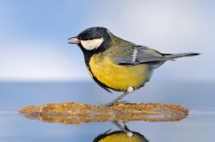 Parus major. Royalty Free Stock Photo
