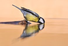Parus major. Royalty Free Stock Image