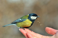 Parus Major. Hand-feeding a great tit (parus major) in the park Stock Photo