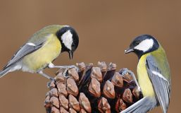 Parus major. Parus major on a pinecone royalty free stock images