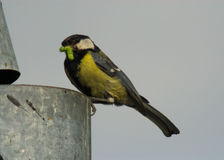 Parus major Stock Images