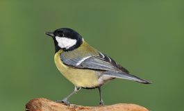 Parus major. stock image