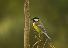Parus major royalty free stock photos