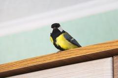 Parus major. Bird in the house stock photos