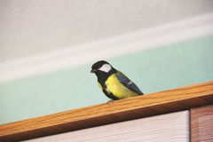 Parus major. Bird in the house royalty free stock photo