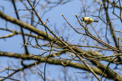 Parus Major bird on a twig Stock Images