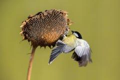 Parus major, Blue tit . Wildlife scenery. Parus major, Blue tit . Songbird little bird. Wildlife scenery, country Slovakia, Europe stock photos