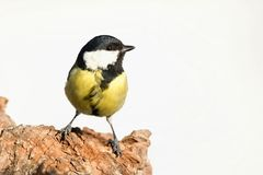 Parus major, Blue tit . Wildlife landscape, titmouse sitting on a branch. Royalty Free Stock Images