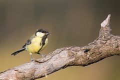 Parus major, Blue tit . Wildlife landscape, titmouse sitting on a branch. Royalty Free Stock Photo