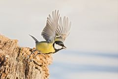 Parus major, Blue tit . Wildlife landscape, titmouse sitting on a branch. Royalty Free Stock Photos