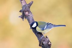 Parus major, Blue tit . Wildlife landscape, titmouse sitting on a branch. Royalty Free Stock Photography