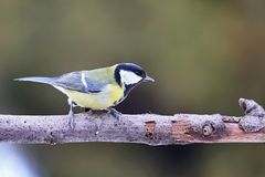 Parus major, Blue tit . Wildlife landscape, titmouse sitting on a branch. Stock Photography