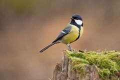 Parus major, Blue tit . Wildlife scenery. royalty free stock photography