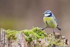 Parus major, Blue tit . Wildlife scenery. Royalty Free Stock Images