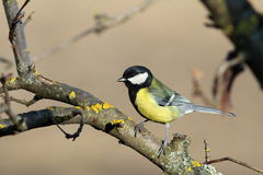 Parus major on a branch Royalty Free Stock Images