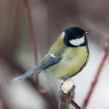 Parus major closeup Stock Photography