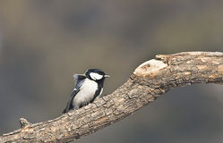 Parus major in forest. Winter, Parus major in forest royalty free stock photography