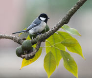 Parus major Royalty Free Stock Image