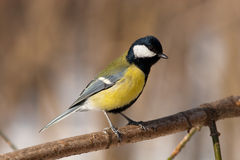 Parus major, Great Tit. The Great Tit (Parus major) is a passerine bird in the tit family Paridae stock photography