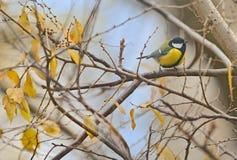 Parus major, great tit bird. On autumn branch tree stock photo