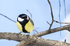 Parus major. The great tit Parus major sitting on a branch stock images