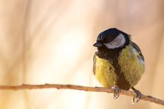 Parus major, great tit sit on branch in winter forest stock images
