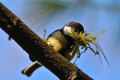 Parus major 1. Great tit transporting construction materials for nest Stock Image