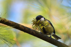 Parus major 2. Great tit transporting construction materials for nest Royalty Free Stock Images
