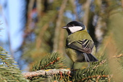 Parus major in its environment. It merges perfectly colored bird in its environment Stock Photo