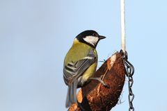 Parus major on lard feeder Royalty Free Stock Photos