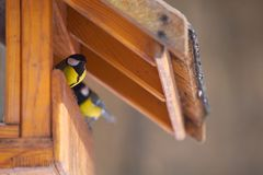 Parus major feeding. A Parus major little bird feeding stock photography