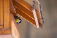 Parus major feeding. A Parus major little bird feeding royalty free stock photo