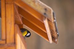 Parus major feeding royalty free stock images