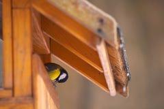 Parus major feeding. A Parus major little bird feeding royalty free stock images