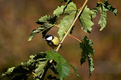 Parus Major perched Royalty Free Stock Photography