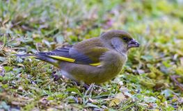 Carduelis chloris - Winter welcome. Parus major sits on a branch and poses, welcomes winter Stock Photos