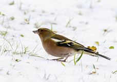 Carduelis chloris - Winter welcome. Parus major sits on a branch and poses, welcomes winter Stock Image