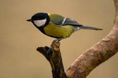 Parus major - Tit Royalty Free Stock Photos