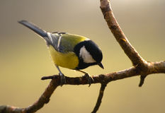 Parus major - Tit zdjęcia royalty free