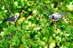 Parus major on a tree talking with themselves stock photos