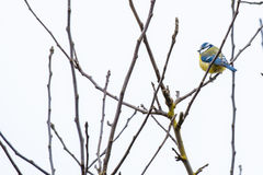 Parus Major on a twig Stock Image