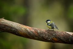 Parus major. Wildlife of Finland. Beautiful picture. Karelia. From bird life. Royalty Free Stock Photos