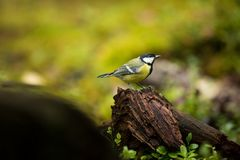 Parus major. Wildlife of Finland. Beautiful picture. Karelia. From bird life. Stock Photo
