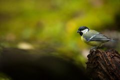 Parus major. Wildlife of Finland. Beautiful picture. Karelia. From bird life. Free nature. Scandinavia. European nature. Little bird. Expanded throughout stock images